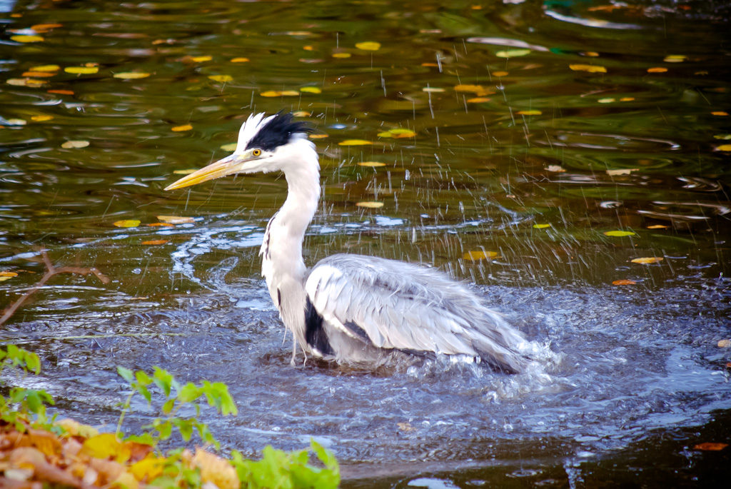 swimming heron